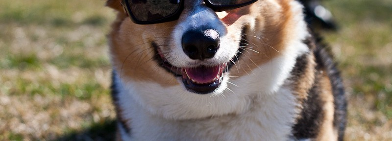 Purebred Corgi with Sunglasses in Alexandria VA
