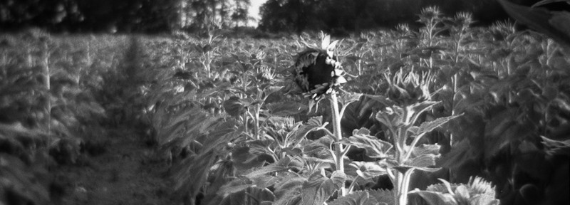 Holga Black and White in a Sunflower Field